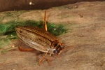 Rhantus suturalis